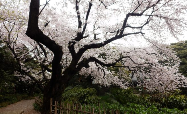 花の滝~The flurry of cherry blossoms