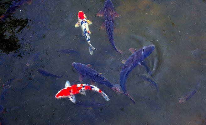 鯉の滝登り~Promotion